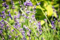 Lawenda kwitnie w ogródzie z pszczołą na kwiacie Zdjęcia Royalty Free