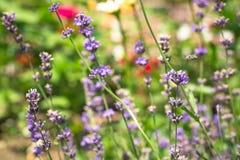 Lawenda kwitnie w ogródzie z pszczołą na kwiacie Zdjęcia Stock