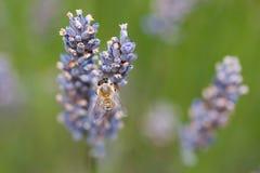 Lawendowa pszczoła Obrazy Royalty Free