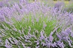 Lawendowa roślina w pełnym kwiacie Obrazy Stock