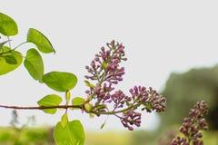 Lawendowa rośliny gałąź fotografia stock
