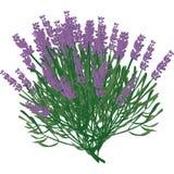 lawendowa roślina Fotografia Stock
