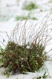 Lawendowa roślina Zdjęcia Stock