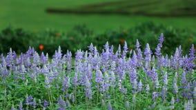 Lawendowa roślina Fotografia Royalty Free