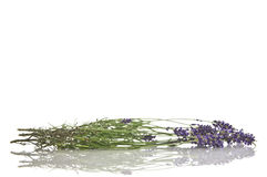 lawendowego białe kwiaty Obraz Stock