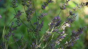 Lawendowej rośliny żywieniowe wieloskładnikowe pszczoły w lecie zdjęcie wideo