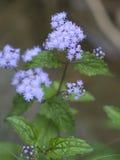 Lawendowi Ageratum Wildflowers - Conoclinium coelestinum Zdjęcia Royalty Free