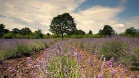Lawendowi kwiatu kwitnienia pola w niekończący się rzędach, wideo zdjęcie wideo