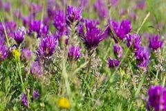 Lawendowi kwiaty Zdjęcia Royalty Free
