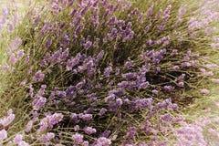 Lawendowi Kwiaty obrazy stock