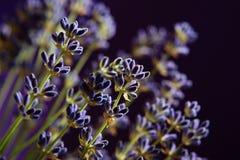 Lawendowi kwiaty   Zdjęcie Royalty Free