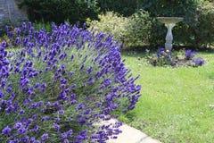 Lawendowy dorośnięcie w kraju ogródzie Fotografia Royalty Free