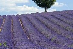 lawendowy France śródpolny drzewo Provence Zdjęcia Royalty Free