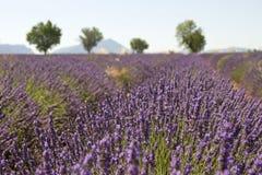 lawendowy France śródpolny drzewo Provence Zdjęcie Royalty Free