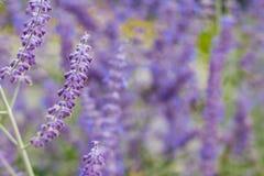 Lawendowy krzaka zbliżenie na zmierzchu lawenda kwitnąca Zmierzchu migot nad purpurowymi kwiatami lawenda Zdjęcie Stock