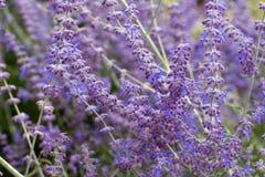 Lawendowy krzaka zbliżenie na zmierzchu lawenda kwitnąca Zmierzchu migot nad purpurowymi kwiatami lawenda Zdjęcie Royalty Free
