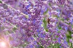 Lawendowy krzaka zbliżenie na zmierzchu lawenda kwitnąca Zmierzchu migot nad purpurowymi kwiatami lawenda Obraz Royalty Free