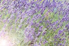 Lawendowy krzaka zbliżenie na zmierzchu lawenda kwitnąca Zmierzchu migot nad purpurowymi kwiatami lawenda Fotografia Stock