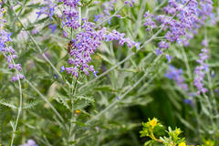 Lawendowy krzaka zbliżenie na zmierzchu lawenda kwitnąca Zmierzchu migot nad purpurowymi kwiatami lawenda Obrazy Royalty Free