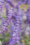 Lawendowy krzaka zbliżenie na zmierzchu lawenda kwitnąca Zmierzchu migot nad purpurowymi kwiatami lawenda Obraz Stock