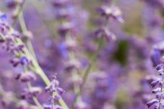 Lawendowy krzaka zbliżenie na zmierzchu lawenda kwitnąca Zmierzchu migot nad purpurowymi kwiatami lawenda Fotografia Royalty Free