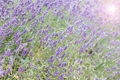 Lawendowy krzaka zbliżenie na zmierzchu lawenda kwitnąca Zmierzchu migot nad purpurowymi kwiatami lawenda Zdjęcia Stock