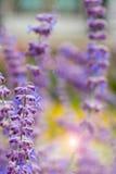 Lawendowy krzaka zbliżenie na zmierzchu lawenda kwitnąca Zmierzchu migot nad purpurowymi kwiatami lawenda Obrazy Stock