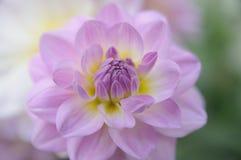 Lawendowy kwiat Fotografia Stock