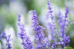 Lawendowy kwiat Obraz Stock