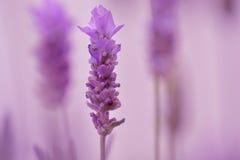 Lawendowy kwiat Zdjęcia Royalty Free