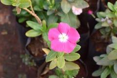 Lawendowy kwiat! Obraz Royalty Free