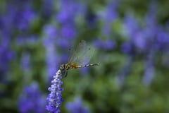 Lawendowy kwiat i Dragonfly Zdjęcia Royalty Free