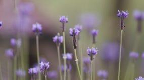 Lawendowy kwiatu krajobraz zamknięty w górę abstrakcjonistycznej miękkiej ostrości naturalnego tła fotografia stock