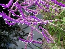 Lawendowy kwiatu pole, świeży purpurowy aromatyczny wildflower fotografia stock