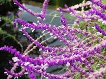Lawendowy kwiatu pole, świeży purpurowy aromatyczny wildflower fotografia royalty free