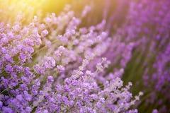 Lawendowy kwiatu pole Obrazy Royalty Free