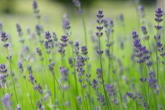 Lawendowy kwiatu pole Obraz Stock