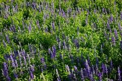 Lawendowy kwiatu pole w świetle słonecznym Zdjęcie Royalty Free