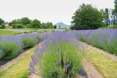 Lawendowy kwiatu pole z halnym tłem Obrazy Stock