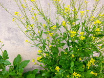 Lawendowy kwiatu tła wzór Zdjęcia Royalty Free