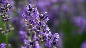 Lawendowy kwiatu zbliżenia materiał filmowy zbiory
