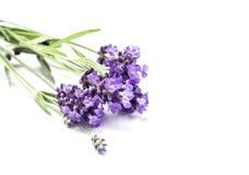 Lawendowy zielarski kwiatu zbliżenia bielu tło Obraz Royalty Free