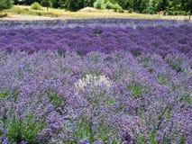 Lawendy gospodarstwo rolne w kwiacie Obraz Stock