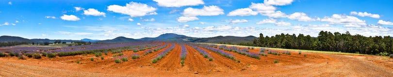 Lawendy gospodarstwo rolne z niebieskimi niebami obrazy royalty free
