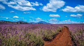 Lawendy gospodarstwo rolne z niebieskimi niebami fotografia stock