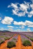 Lawendy gospodarstwo rolne z niebieskimi niebami zdjęcie stock