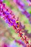Lawendy i pszczoła Fotografia Royalty Free