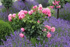 Lawendy i róże Zdjęcia Stock