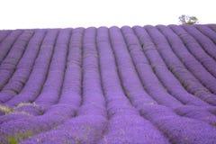 Lawendy i słonecznika pole w Hitchin, Anglia Fotografia Stock