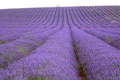 Lawendy i słonecznika pole w Hitchin, Anglia Obraz Royalty Free